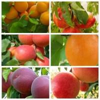 Саженцы крупноплодных сортов абрикоса, персика, нектарина опт и розница