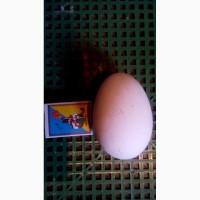 Продам яйця інкубаційні гусині