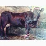 Продам корову в хороші руки