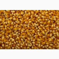 Купим кукурузу дорого, от 100 тонн. Вся Украина