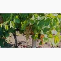 Продам технический и столовый виноград