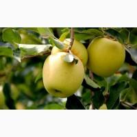 Продам яблоки урожая 2018 года, сорта Чемпион, Старкримсон, Голден с сада