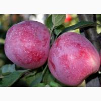 Продам яблока
