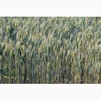Агроцентр семена предлагает посевной материал тритикале сорт Гарне