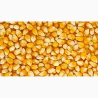 Продам кукурудзу -1500 т
