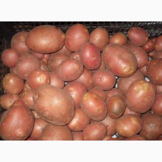 Картофель «Беллароза» 3кг.сетка