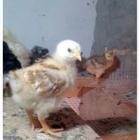 Продам курчат