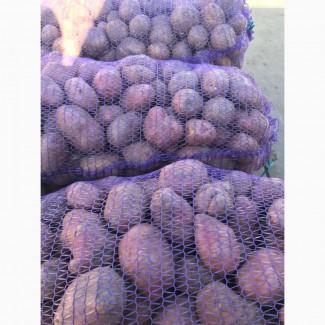 Продам товарный картофель сорта Бела росса, Скарб