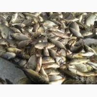 Продам рыбопосадочный материал :однолетку и двухлетку малька оптом