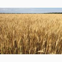 Озима пшениця Златоглава элита