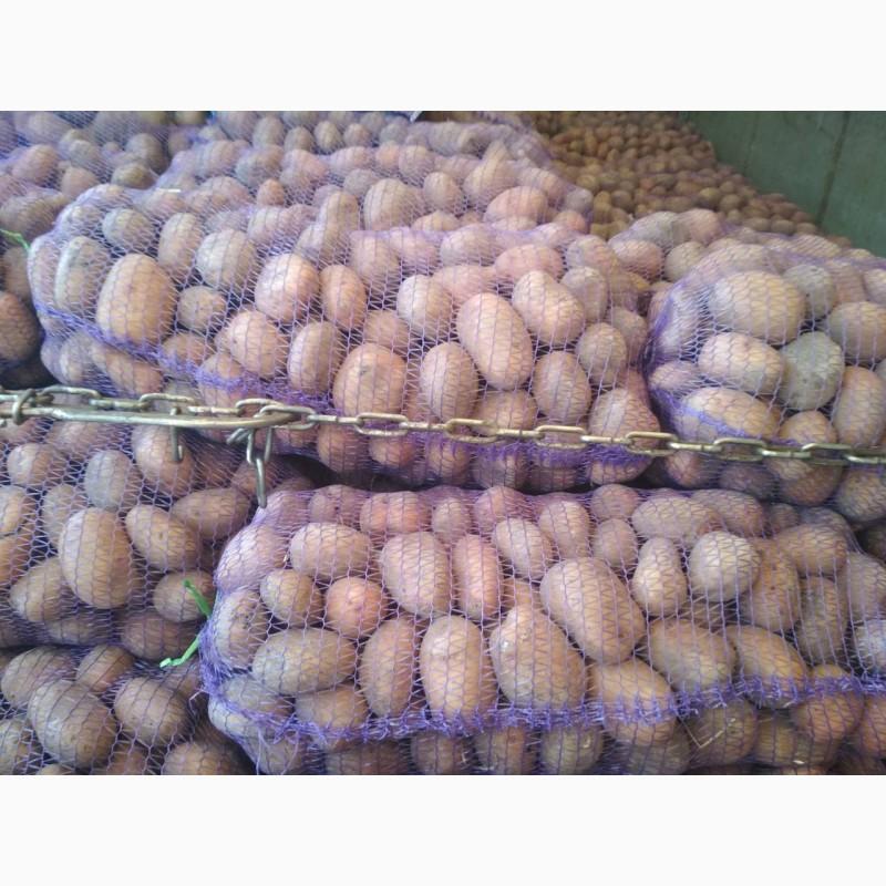 Продам картошку без посредников 100 тонн, Сумская обл.