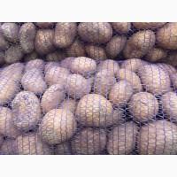 Продам картоплю белороза, королева Анна, бріз