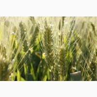 Семена пшеницы твердой СПАДЩИНА элита 1 репрод