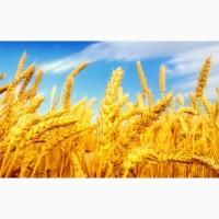 Продаём пшеницу на Экспорт