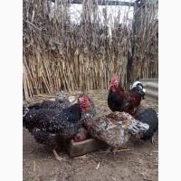 Продам інкубаційні яйця курей породи лівенська сітцева