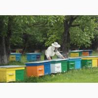 Продам пчелопакеты бджолопакети