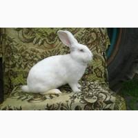 Кролики Термонті. Кітні кролиці