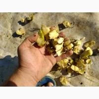 Корінь Кубышки(Латаття)жовте (ЦІна договірна) за 1 кг