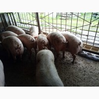 Продам мясних свиней 125-140кг