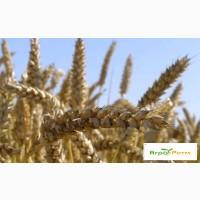 Озимая пшеница Нива Одесская, семена (1 репродукция ) урожай 2020 г