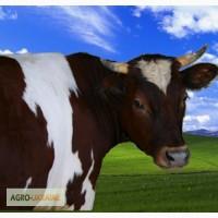 Ферма( г.Фастов )придбає дійних корів та телят на утримання