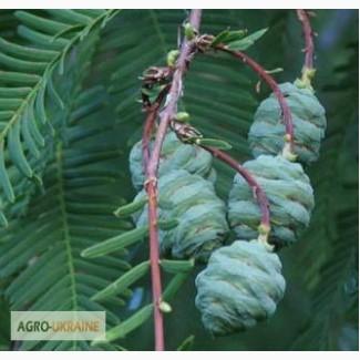 Саженцы: Метасеквойя – Metasequoia glyptostroboides