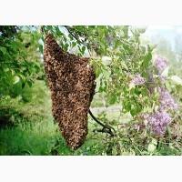 Куплю бджолині рої