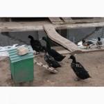 Домашні качки Свищ