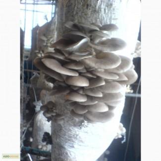 Вешенка продам.Блоки грибов вешенка