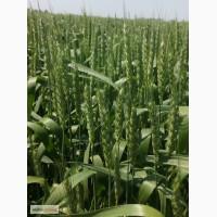 Насіння ярої пшениці Елегія Миронівська (еліта, СН-1)