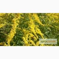 Семена и корни Золотарника канадского (семена медоносов Киев)