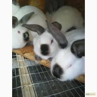 Продается племенной молодняк кроликов калифорнийской породы