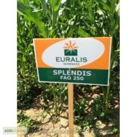 Насіння кукурудзи Сплендіс