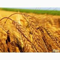 Пшеница 6 кл