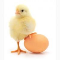 Куры и цыплята бройлер
