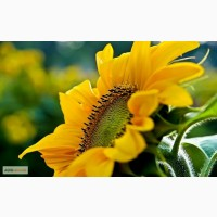Продам семена подсолнечника Евралис Семанс/Euralis Semences