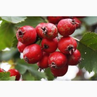 Покупаем цвет с листом и сухиее ягоды Боярышника