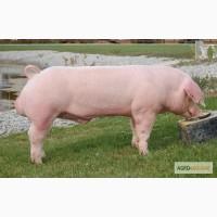 Куплю свиньи в живом весе мясного типа