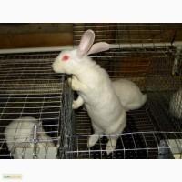 Продам племенні кролики породи Термондська Біла