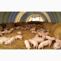 Закупаем свиней живым весом 1 2 категории