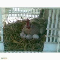 Продам яйце інкубаційне білого легорна