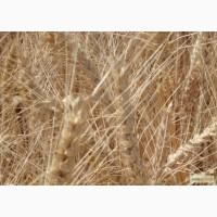 Озимая пшеница Антоновка элита