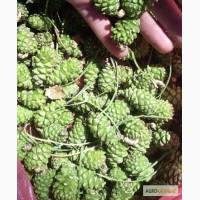 Софора плод Стевия лист (Крым) Тысячелистник Чабрец трава Шалфей лист Шиповник кожура