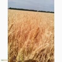 Пшеница озимая Вдала