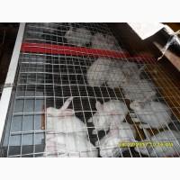 Молодняк кроликов, белый панон