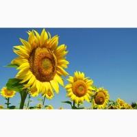 Продам високоврожайний соняшник Дракон під Гранстар
