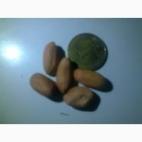 Семена арахиса сорт Украинский степняк