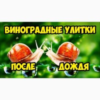 Купуемо выноградного равлыка