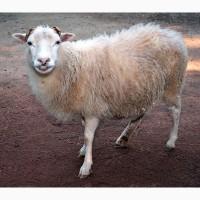 Куплю овец