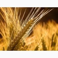 Конка пшеница озимая засухоустойчивая, низкорослая